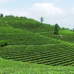 "What is ""Good"" Plantation Tea? – Translated Article"